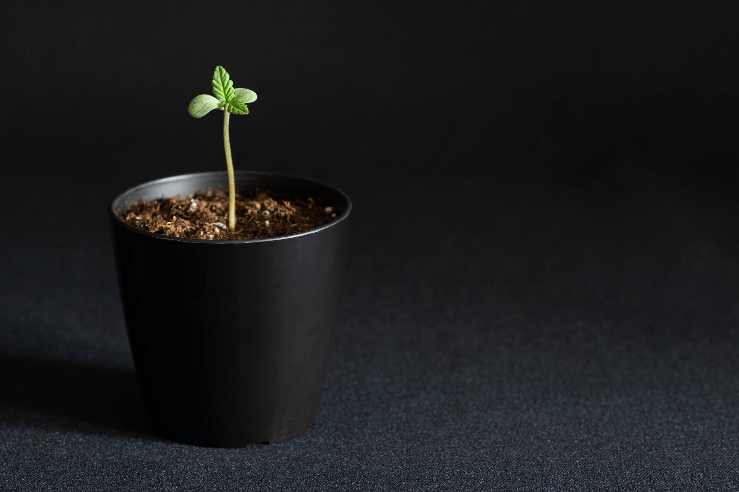 Homegrown Cannabis Plant